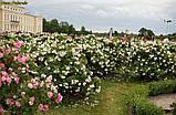 Роза Polareis (Полярный лед), фото 7