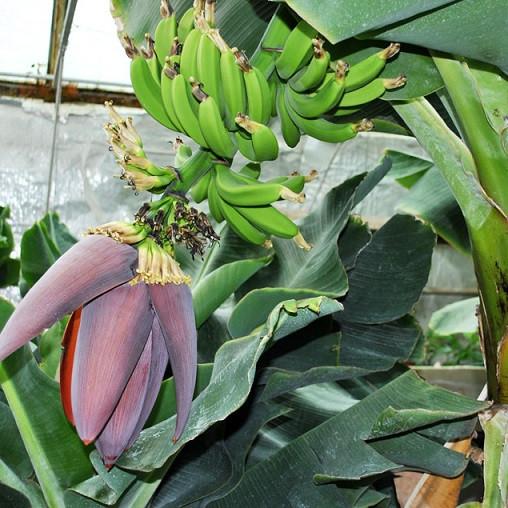 Банан супер карлик  Кавендиш (3х л)