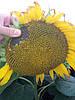 Сербське насіння соняшника стійке до Євролайтнінгу та вовчка пяти рас НС ІМІСАН, Врожайність 42 ц/га.