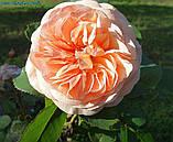 Роза Charles Austin (Чарльз Остин), фото 2