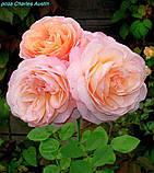 Роза Charles Austin (Чарльз Остин), фото 3