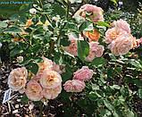 Роза Charles Austin (Чарльз Остин), фото 5