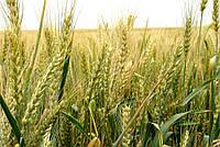Удобрение для ранних яровых зерновых культур