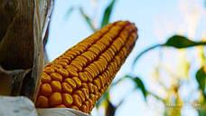 Визначено області-лідери за виробництвом кукурудзи в 2018 році