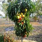 Саженцы Персика Золотой Триумф - колоновидный, ранний, крупноплодный, фото 2