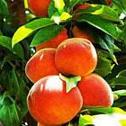 Саженцы Персика колоновидного Тотем Садовода - среднего срока, крупноплодный, сладкий, фото 2