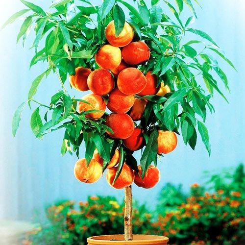 Саженцы Персика колоновидного Тотем Садовода - среднего срока, крупноплодный, сладкий