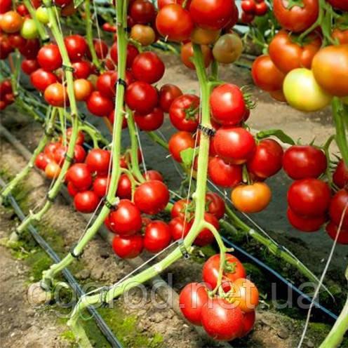 73-521 RZ F1(Дофу) 100 шт. семена томата высокорослого Rijk Zwaan Голландия