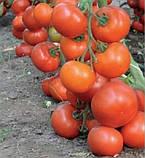 73-521 RZ F1(Дофу) 100 шт. семена томата высокорослого Rijk Zwaan Голландия, фото 3