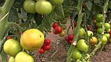 73-521 RZ F1(Дофу) 100 шт. семена томата высокорослого Rijk Zwaan Голландия, фото 5