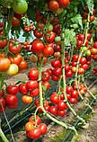 73-521 RZ F1(Дофу) 100 шт. семена томата высокорослого Rijk Zwaan Голландия, фото 6