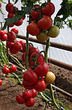 73-521 RZ F1(Дофу) 100 шт. семена томата высокорослого Rijk Zwaan Голландия, фото 7