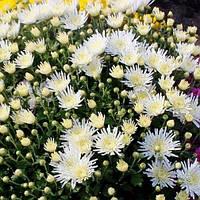 Хризантема мультифлора ранняя Трикки Вайт, фото 1