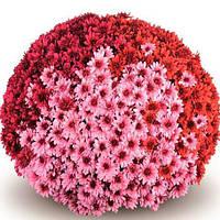 Хризантема мультифлора смесь (3 черенка)
