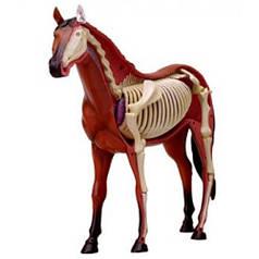 Анатомическая модель Лошадь, 4D Master 26101
