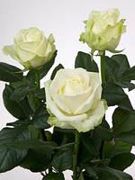 Роза чайно-гибридная Avalanche (Аваланж),в контейнере