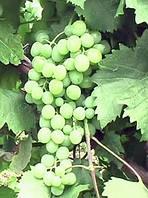 Саженци винограда Песня