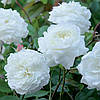 Троянда англійська Sensation White (Біла Сенсація), у контейнері