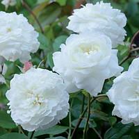 Троянда англійська Sensation White (Біла Сенсація), у контейнері, фото 1