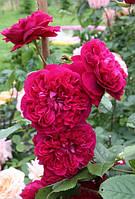 Роза английская King arthur (Король Артур) в контейнере, фото 1