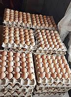 Инкубационные яйца (Кучинская юбилейная)
