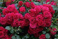 Роза «Gärtnerfreude» ® / Toscana ® (Радость садовника). почвопокровная