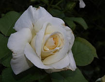 Роза Шнеевальцер (Schneewalzer) Плетистая , фото 3