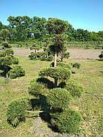 Сосна обыкновенная Niwaki (М)