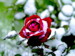 Укрывание растений на зиму: какой материал использовать?