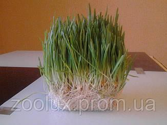 Живая травка - овес для животных и декораций