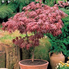 Клен пальмолистний / японський Atropurpureum 2 річний, Клен веерный/пальмолистный Атропурпуреум, Acer palmatum