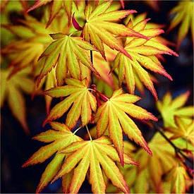 Клен пальмолистний / японський Katsura 2 річний, Клен дланевидный / пальмолистный Катсура, Acer palmatum