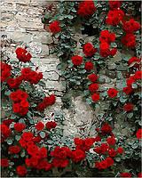 Картина по номерам Вьющаяся роза 40 х 50 см (MR-Q108)
