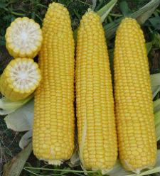 Семена кукурузы Добрыня F1 2500 семян