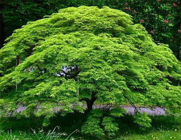 Клен пальмолистний / японський Emerald Lace 2 річний, Клен дланевидный Эмеральд Лейс, Acer palmatum