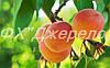 Саженцы абрикос разных сортов