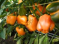 Орені F1 (великі товстостінні плоди, кубовидної форми  насичено-помаранчевого кольору, товщина стінки 6 мм) Semo 1000 шт (ТМ Добрі Сходи)