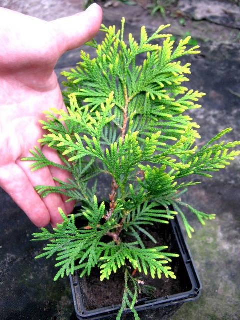Фото хвойных растений  3