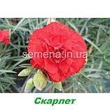 Гвоздика Кан Кан (на зріз) (колір на вибір) 50 шт., фото 3