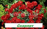 Гвоздика Кан Кан (на зріз) (колір на вибір) 50 шт., фото 4
