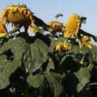 Посевные семена подсолнечника НК Брио Сингента