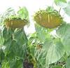 Семена подсолнечника НК Неома  Сингента