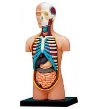 Об'ємні анатомічні моделі