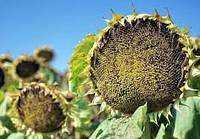 Семена подсолнечника Tynka  Лимагреин
