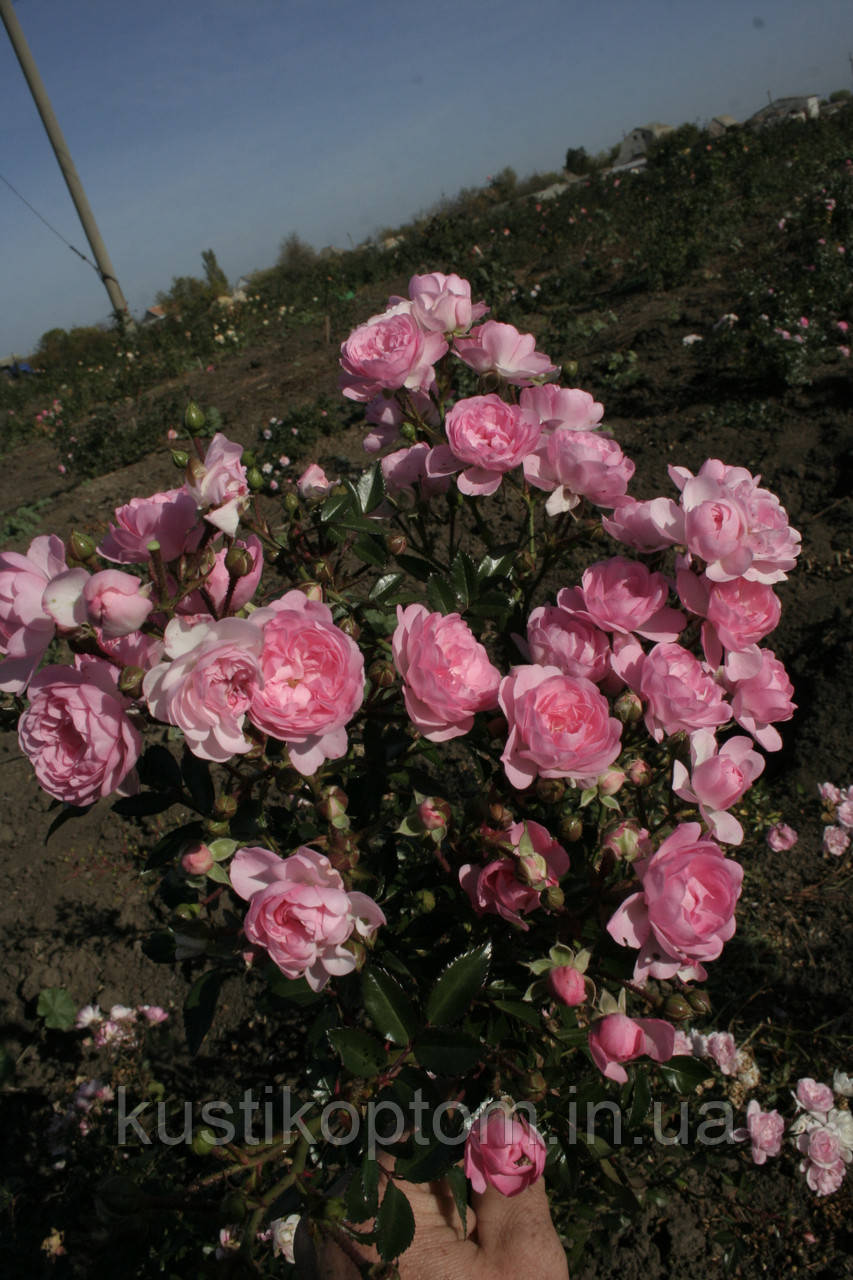 Бело-розовая почвопокровная роза.