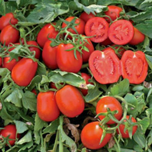 Семена томата Платон F1, 10 000 семян, Lark Seeds