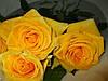 Три долгосвежих розы Золотистый Хризоберилл в подарочной упаковке (не вянут от 6 месяцев до 5 лет), фото 3