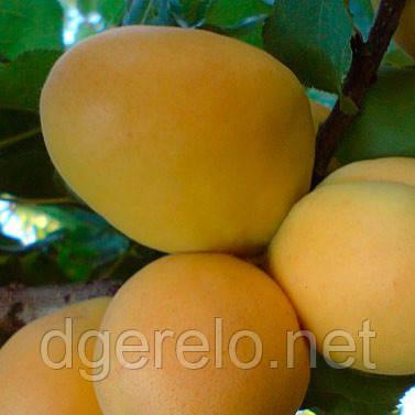 Саженцы Ананасного абрикоса - средний срок созревания