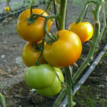Семена томата Еллоу Болл F1, 250 семян, Lark Seeds