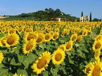 Семена подсолнечника Украинское солнышко  ВНИС.